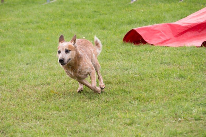 Un perro australiano del ganado corre en una competencia del colmillo de la agilidad foto de archivo