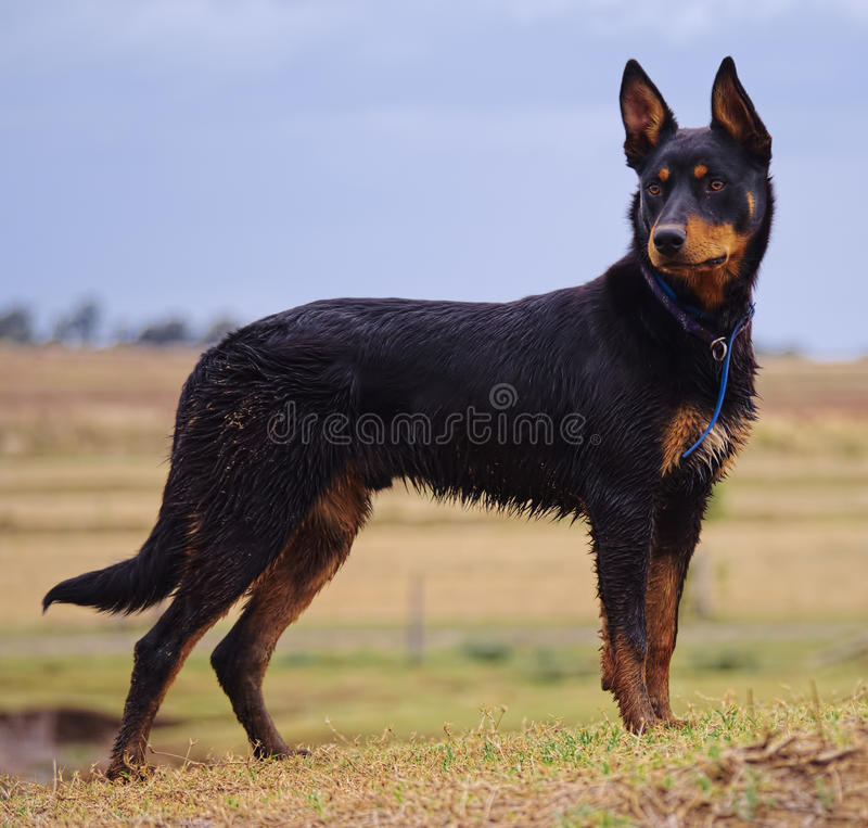 Un perro australiano del Kelpie imagenes de archivo