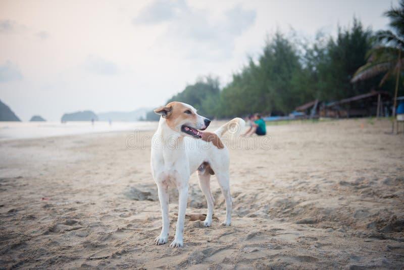 Un perro blanco en la playa fotos de archivo libres de regalías
