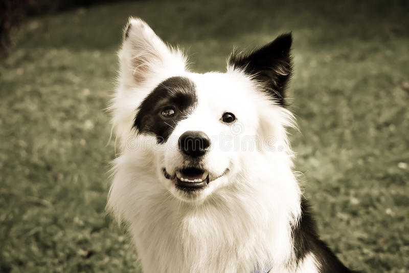 Mezcla blanco y negro del border collie del perro (8) fotografía de archivo