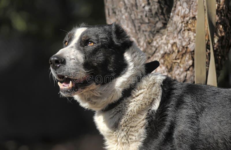 Un perro blanco y negro grande del híbrido foto de archivo libre de regalías