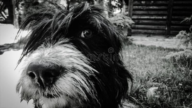 Un perro blanco y negro muy lindo y mimoso imagenes de archivo