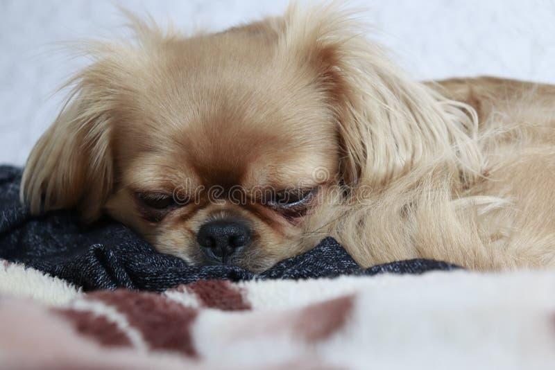 Un perro cansado en la cama imágenes de archivo libres de regalías