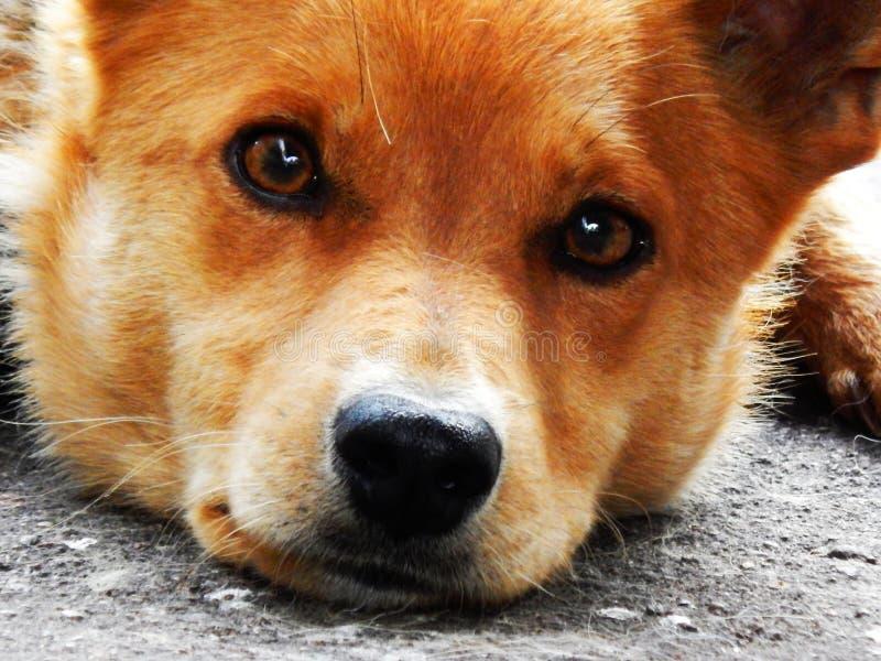 Un perro con una cara y un marrón tristes observa fotografía de archivo