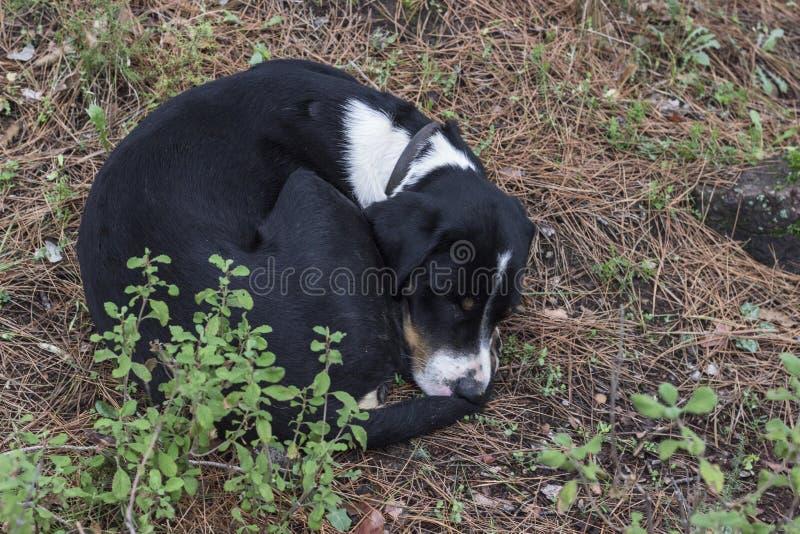 Un perro culebreó mientras que dormía foto de archivo libre de regalías