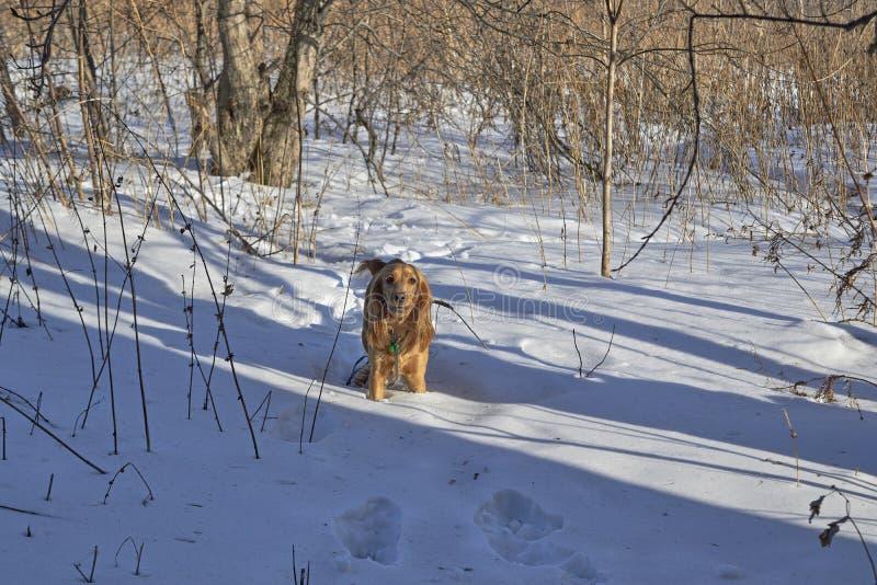 Un perro de aguas pelirrojo foto de archivo libre de regalías