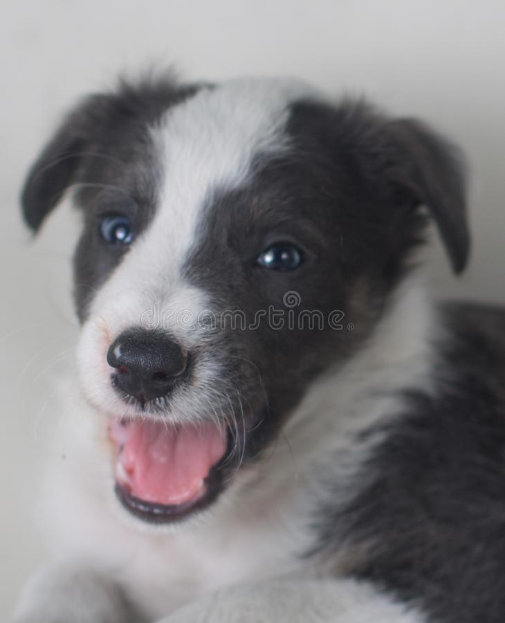 Un perro de bostezo cansado que mira el border collie de la cámara imagen de archivo libre de regalías