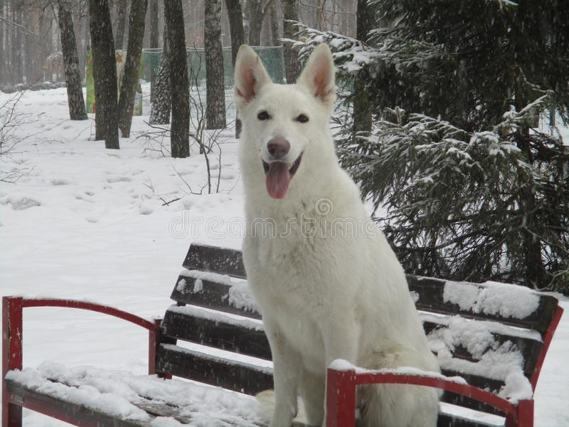 Un perro de pastor blanco se sienta en un banco de madera en el bosque del invierno foto de archivo
