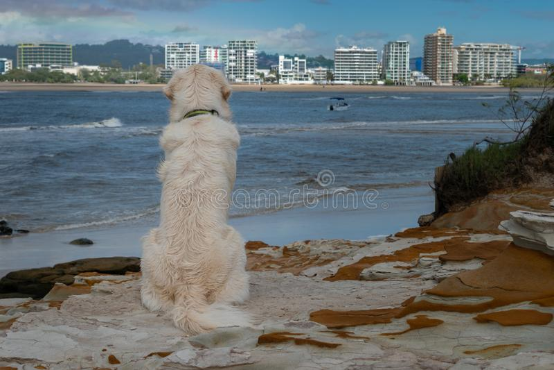 Un perro de perrito del golden retriever mira hacia fuera sobre una vista al mar agradable imagenes de archivo