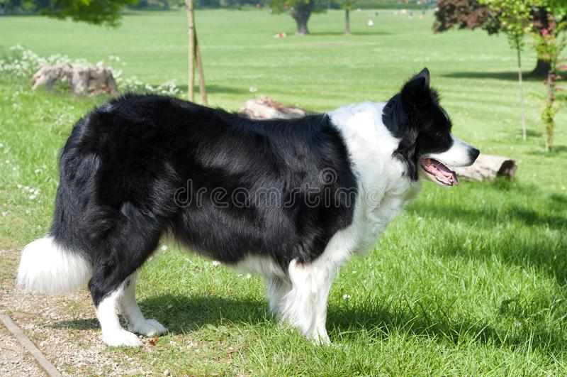 Un perro del border collie en un campo verde imagen de archivo