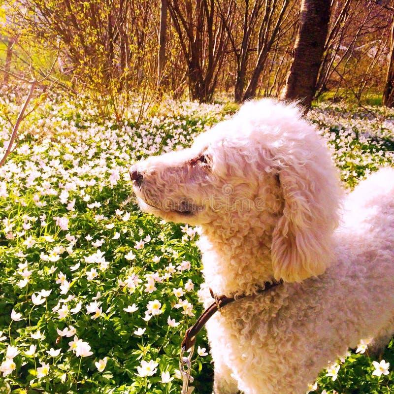 Un perro en primavera imagenes de archivo