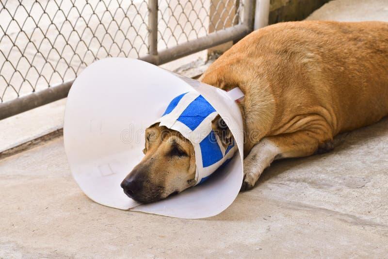 Un perro enfermo con un cuello protector y un vendaje azul está mintiendo encendido imágenes de archivo libres de regalías