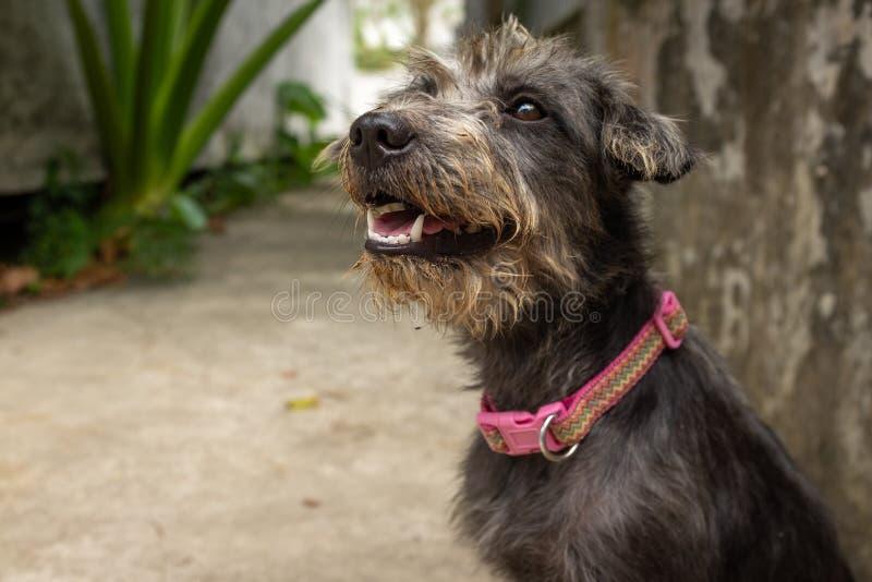 Un perro gris rescatado que espera en un refugio para animales nuevo hogar imagenes de archivo