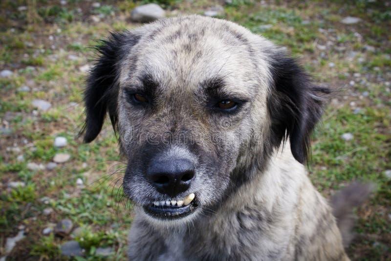 Un perro gris sin hogar con una mordedura incorrecta imagenes de archivo