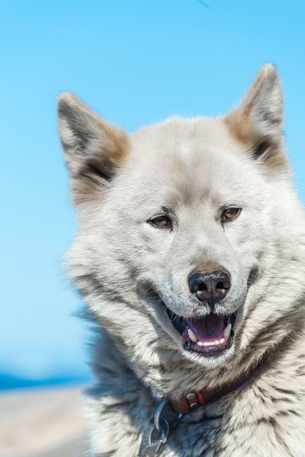 Un perro groenlandés en postura agresiva, Sisimiut, Groenlandia foto de archivo