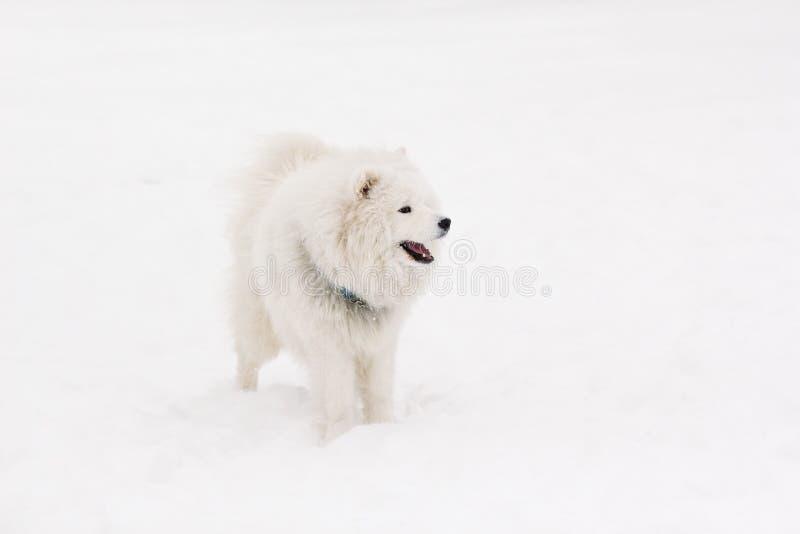 Un perro hermoso joven pedigrí del samoyedo del color blanco se coloca en t imágenes de archivo libres de regalías