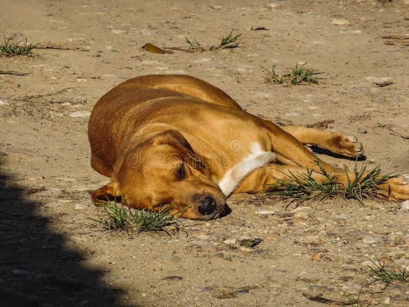 Un perro joven cansado de juego de la mañana duerme en una calle foto de archivo libre de regalías