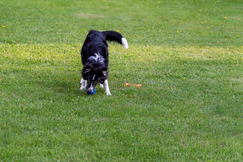 Un perro joven juega en un c?sped verde en un d?a de verano soleado foto de archivo