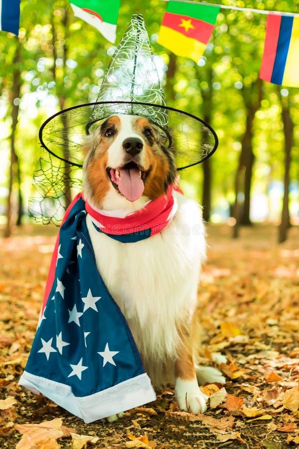 Un perro juguetón joven de un pastor australiano en un parque en el bosque del otoño realiza comandos vestido en el americano fotos de archivo libres de regalías