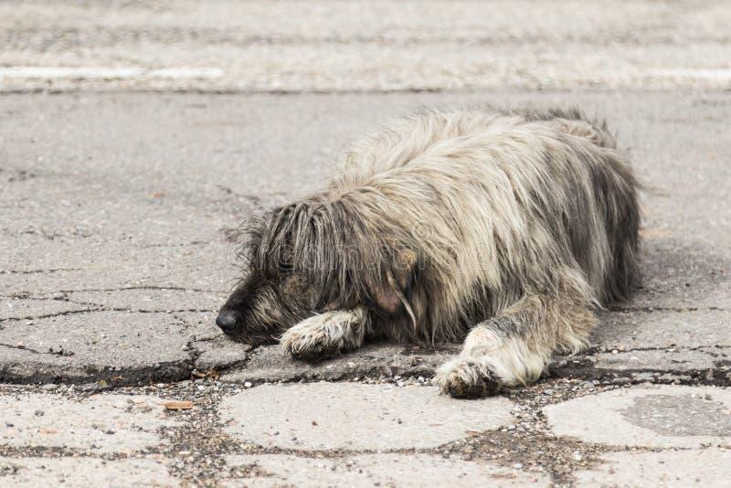 Un perro lanudo gris claro grande miente en una carretera y restos de asfalto foto de archivo libre de regalías