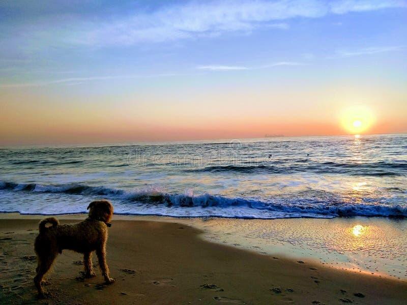 Un perro lanudo resuelve amanecer en la playa foto de archivo