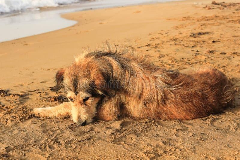 Un perro lanudo sin hogar de color marrón imagen de archivo