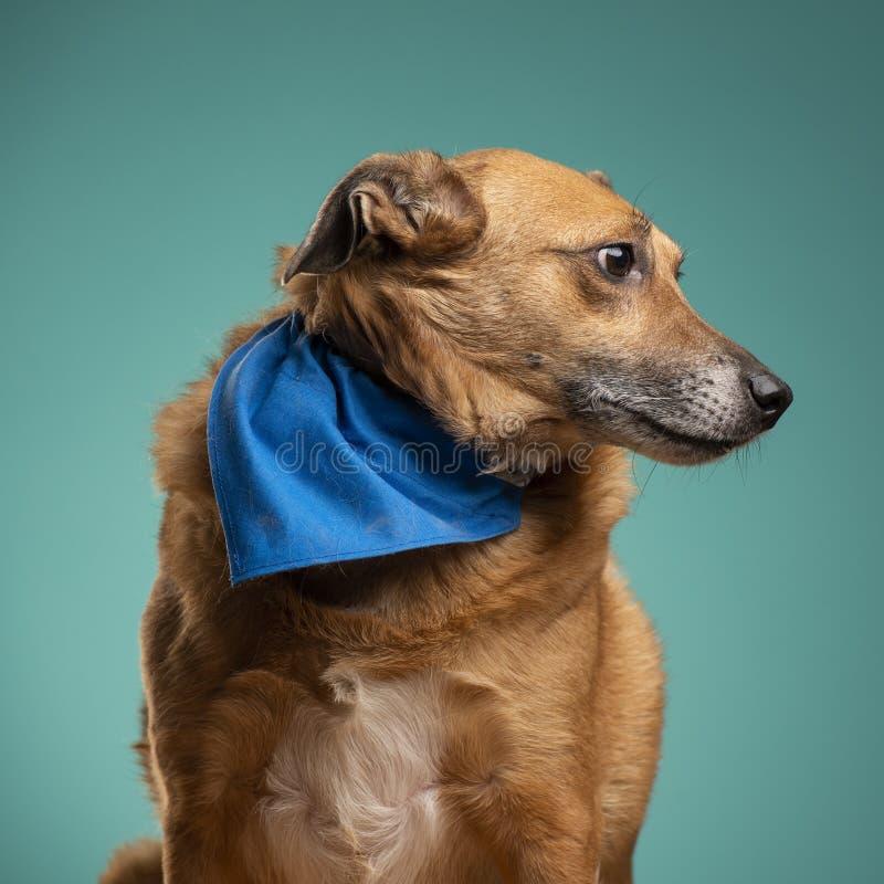 Un perro marrón en el estudio foto de archivo libre de regalías