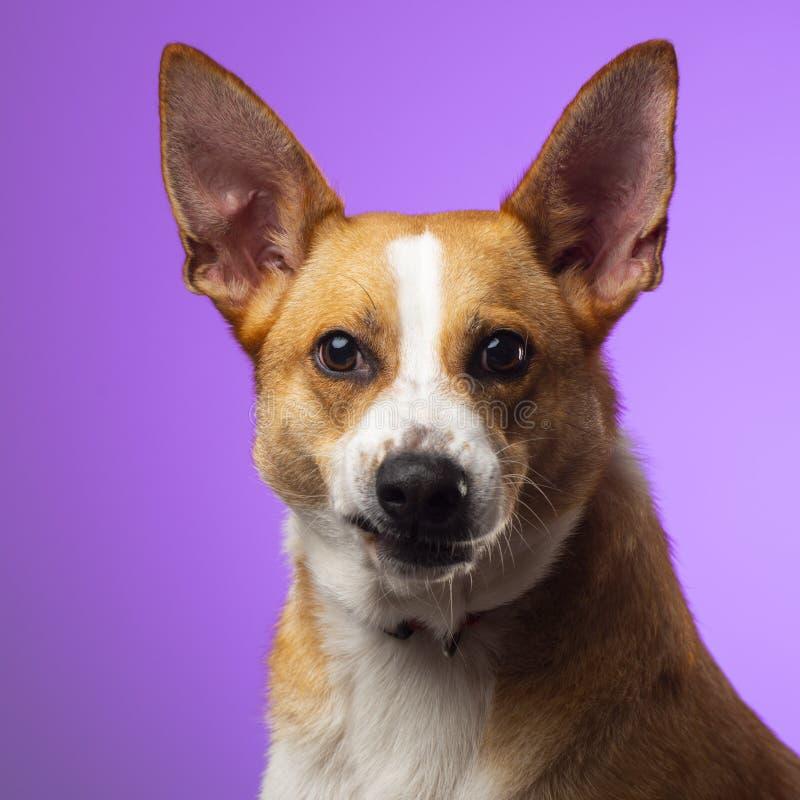 Un perro marrón en el estudio imagen de archivo libre de regalías