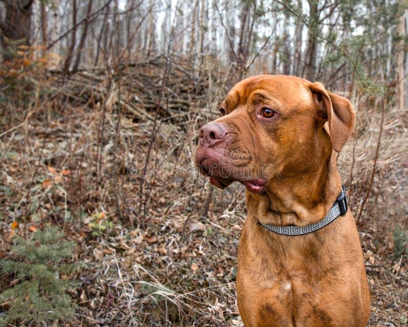 Un perro mezclado del mastín que lleva un cuello que mira en la caída fotos de archivo