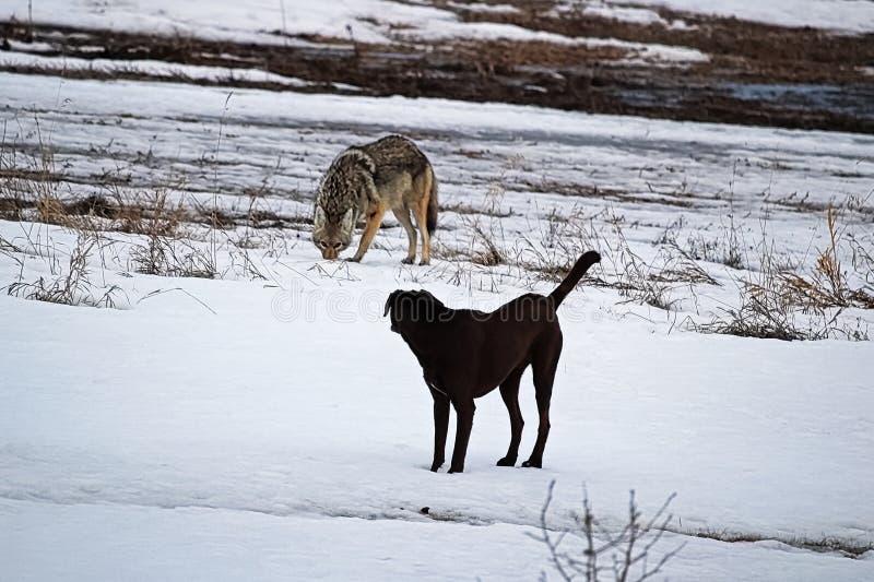 Un perro nacional lo tiene estreno del ` s adentro con un coyote salvaje imagen de archivo libre de regalías