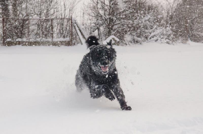Un perro negro en la nieve foto de archivo