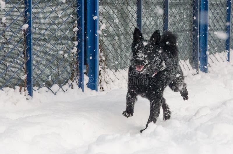 Un perro negro en la nieve imagen de archivo libre de regalías