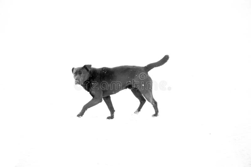 Un perro negro que corre y que mira en la cámara imagen de archivo libre de regalías