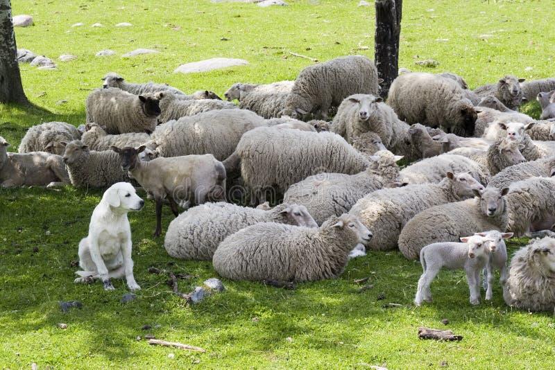 Un perro pastor del akbash que guarda la manada fotografía de archivo