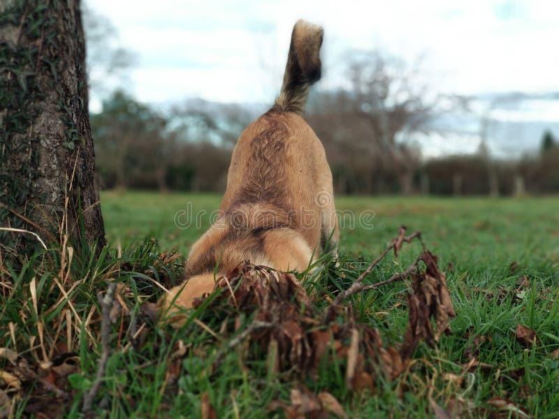 Un perro que huele la tierra en un campo imagenes de archivo