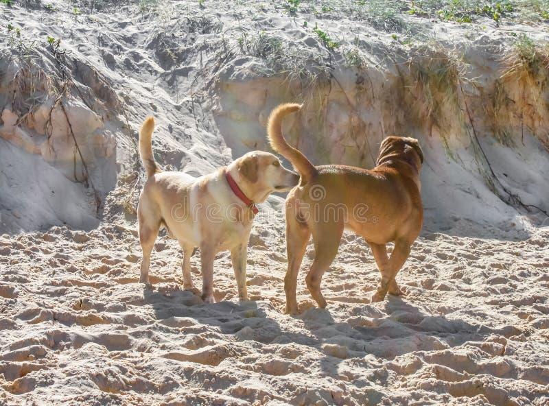 Un perro que huele otros perros empalma en la playa con para arriba batida la arena fotos de archivo libres de regalías