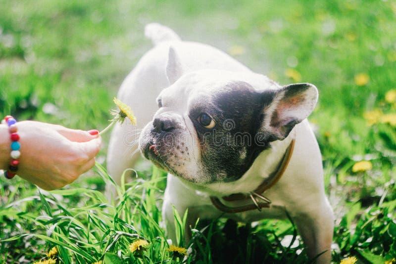 Un perro que mira la flor fotos de archivo