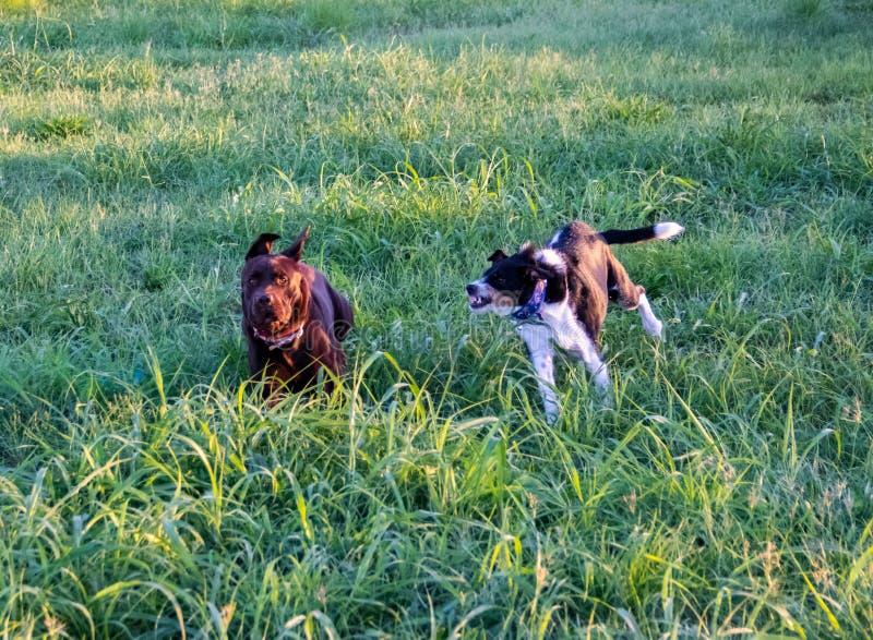 Un perro que persigue el otro perro que intenta morder fotos de archivo libres de regalías