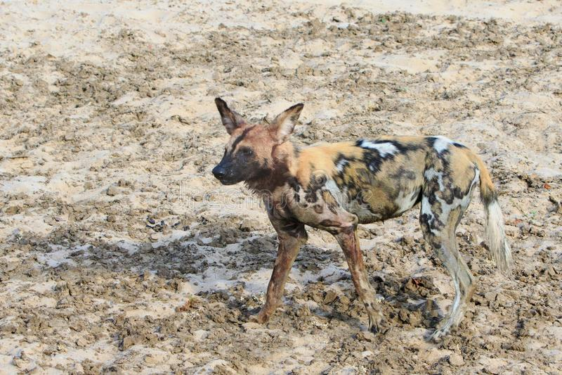 Un perro salvaje solitario en los llanos secos en Luangwa del sur, Zambia imagen de archivo libre de regalías
