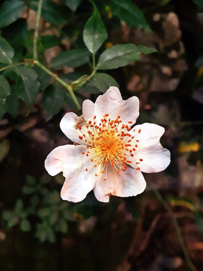 Un perro subió, flor de la montaña foto de archivo