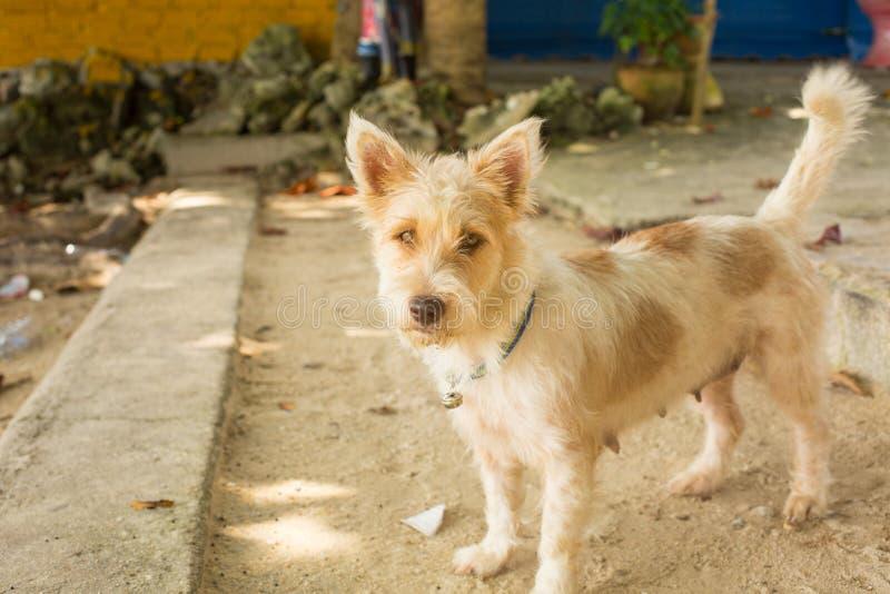 Un perro tailandés elegante foto de archivo libre de regalías