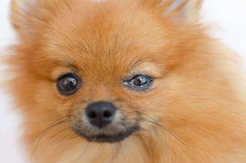 Un perro tiene un problema del ojo, conjuntivitis imagenes de archivo