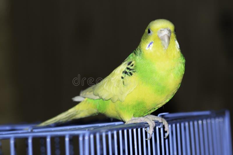 Un perroquet onduleux vert se repose dans une cage images libres de droits