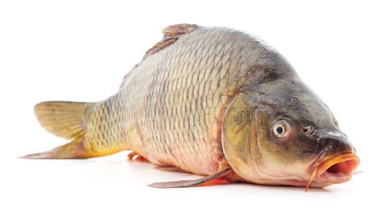Un pescado crudo foto de archivo