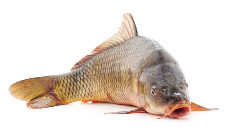 Un pescado crudo imagen de archivo