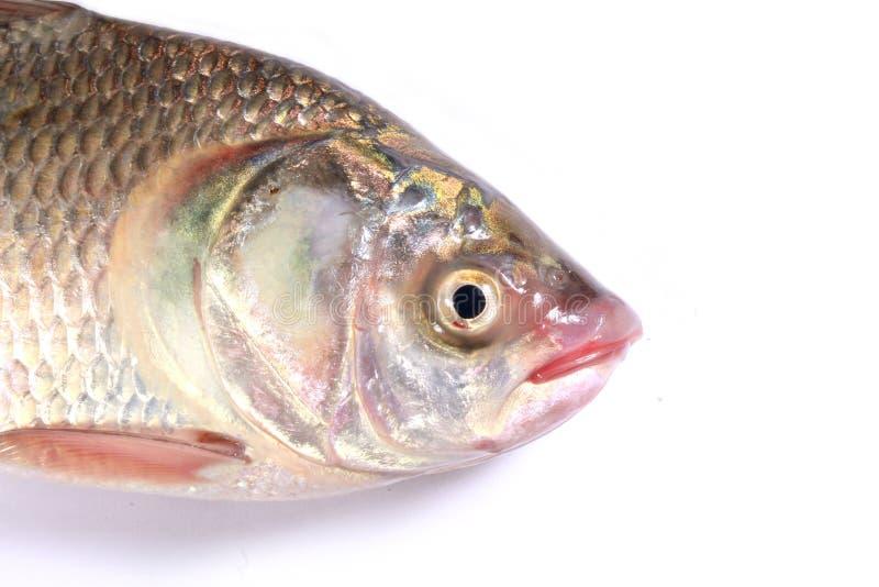 Un pescado de la carpa en un fondo blanco imagen de archivo