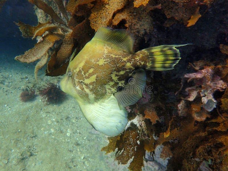 Un pescado de lujo el leatherjacket hinchado fan foto de archivo