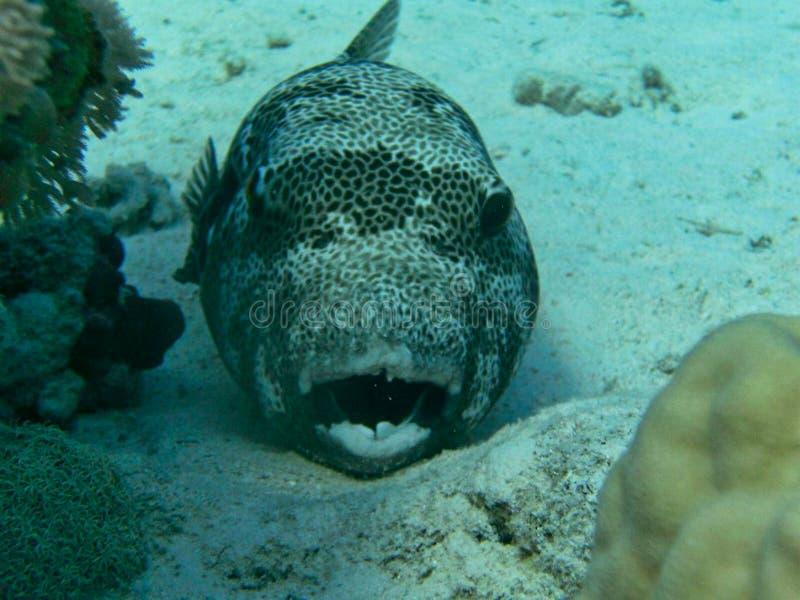 un pescado del soplo en la arena imágenes de archivo libres de regalías