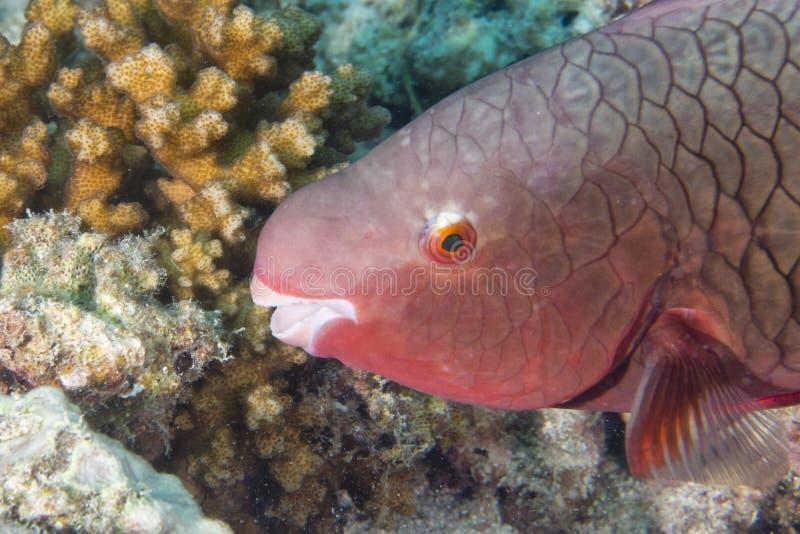 Un pescado rosado del loro foto de archivo