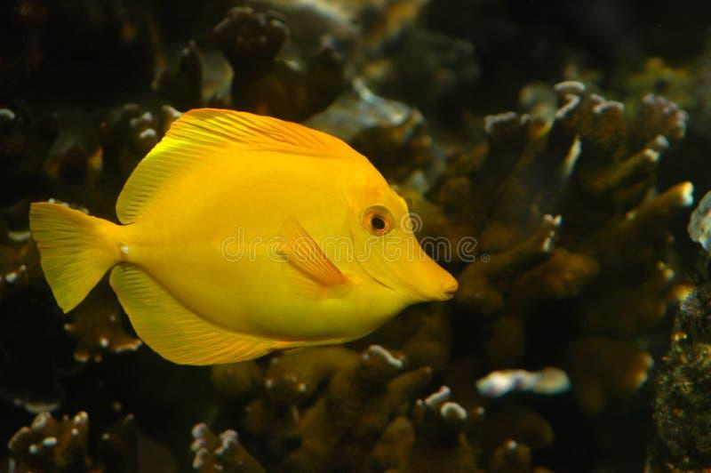 Un pescado tropical amarillo, con el espacio de la copia imágenes de archivo libres de regalías